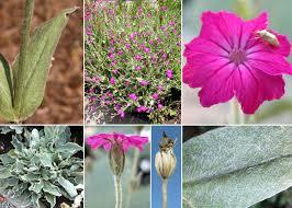 Lychnis coronaria (L.) Desr. - Sistema informativo sulla flora ...
