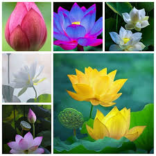 <b>2 PCS Mixed Bowl</b> Lotus Flower Aquarium Water Lily Aquarios Plant ...