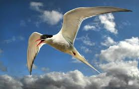 Image result for arctic tern 96,000 km