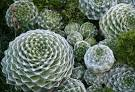 family crassulaceae