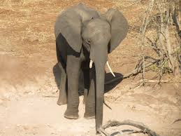 an african elephant photo essay   the world wandererafrican elephant