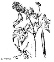 Fam. Trapaceae - florae.it