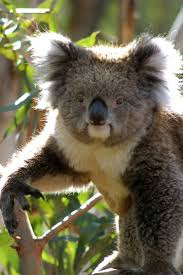 best images about koala s n capital cute koala