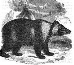 Сибирский бурый медведь — Википедия