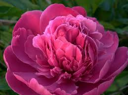 15 Popular Spring <b>Flowers</b> with <b>Pictures</b> | <b>Flower</b> Glossary