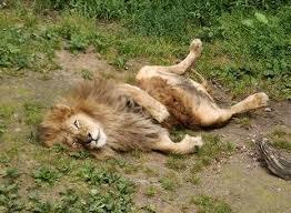 「寝ているライオン」の画像検索結果