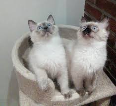 kantial ragdolls ragdoll cats kittens in buckinghamshire dawnmist had her first litter of really good sized kittens in and she has been a really good mum paddington a lovely blue colourpoint boy is