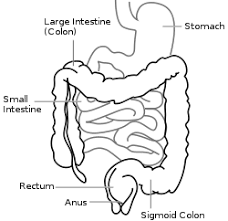 large intestine   wikipediaintestine diagram svg