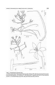 Some notes on Ornithogalum umbellatum L. and Ornithogalum ...