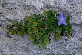 Report: La Campanula isophylla, fotografia, fiori montagna, val d ...