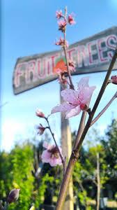 <b>Fruit</b> Tree List, <b>Spring 2019</b> — Enchanted Nurseries & Landscapes