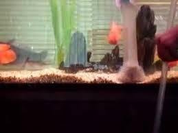 Обучение чистки аквариумного дна Сифоном - YouTube