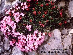 Daphne petraea with pictures and description