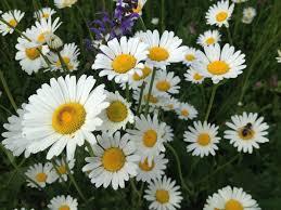 La margherita bellis perennis e leucanthemum vulgare, amore in ...