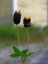 Large Brown Clover, Trifolium spadiceum - Flowers - NatureGate