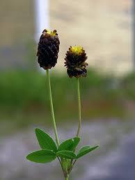 Large Brown Clover, Trifolium spadiceum - Flowers - NatureGate