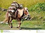 packhorse
