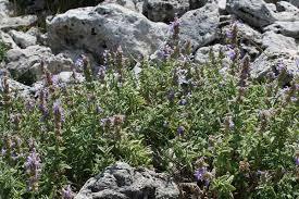 Nepeta foliosa, flora di Sardegna
