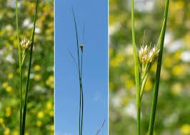 Rhynchospora alba (L.) Vahl - Sistema informativo sulla flora delle ...