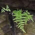 Images & Illustrations of brittle bladder fern