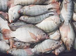 Image result for wikipedia ikan talapia