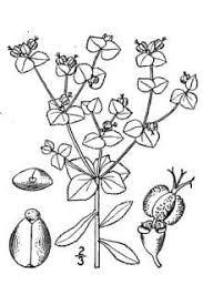 Plants Profile for Euphorbia platyphyllos (broadleaf spurge)