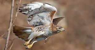 Red-tailed <b>Hawk</b> Identification, All About <b>Birds</b>, Cornell Lab of ...