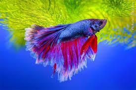 Рыбки Петушки (betta), <b>бойцовые рыбки</b> – содержание и уход ...