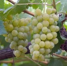 Resultado de imagen para planta chardonnay argentina