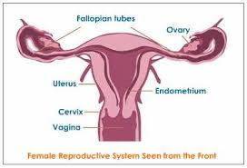 female reproductive system explained with diagrams  reproductive    female reproductive system   labels