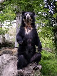 Resultado de imagen para oso de anteojos