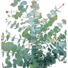 Image result for indoor silver dollar eucalyptus tree