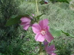Lavatera olbia - Wikipedia, la enciclopedia libre