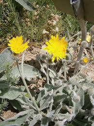 Hieracium tomentosum - Wikispecies