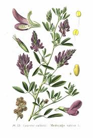 Medicago - Vicipaedia