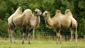What′s the difference between a <b>camel</b> and a dromedary? | Global ...