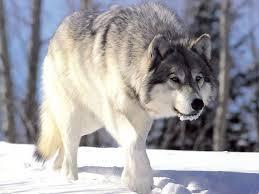Bilderesultat for ulv spiser sau