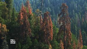 drought lesson plan newshour extra ancient sequoia trees suffering in california drought