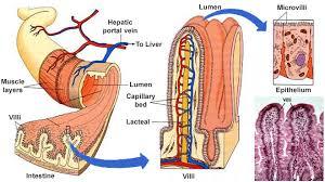 abdomen anatomysmall intestine anatomy
