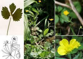 Ranunculus auricomus L. s.l. - Portale alla flora del Parco Nazionale ...