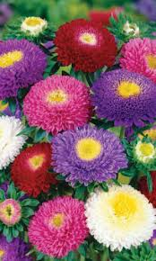 <b>Астра</b> помпонная <b>СМЕСЬ ОКРАСОК</b>. Цветы однолетние. <b>Семена</b> ...