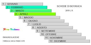 Helleborus odorus [Elleboro profumato] - Flora Italiana