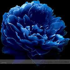 Very Rare 'Luo Yang' Dark Blue Tree Peony Flower ... - Amazon.com
