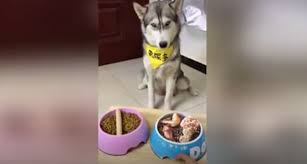 Owner Tricks <b>Husky</b> With Picture Of Chicken In His Bowl, <b>Husky</b> Is ...