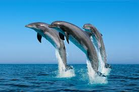 Image result for bais dolphin watching images