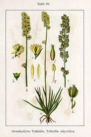 File:Tofieldia calyculata Sturm26.jpg - Wikimedia Commons