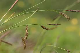 Carex ferruginea – Wikipedie