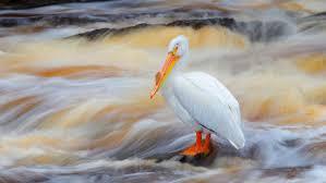 American White Pelican | Audubon Field Guide