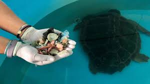 Rescued sea turtle passes more than <b>100 pieces of</b> plastic in stool
