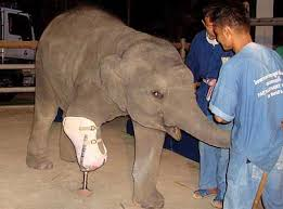 Image result for elephant fracture